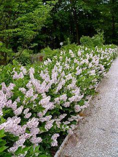 Image result for dwarf korean lilac hedge | Hedges ...