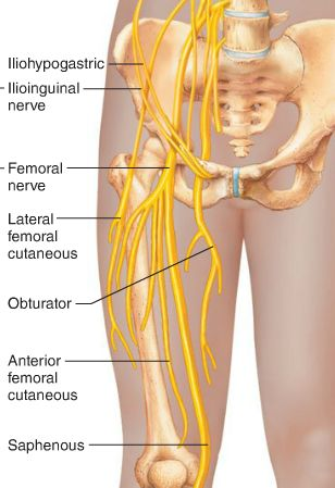 best 10+ femoral nerve ideas on pinterest | muscles of the thigh, Skeleton