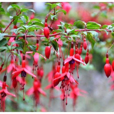 1454 best fuchsias images on pinterest flowers plants for Fuchsia magellanica