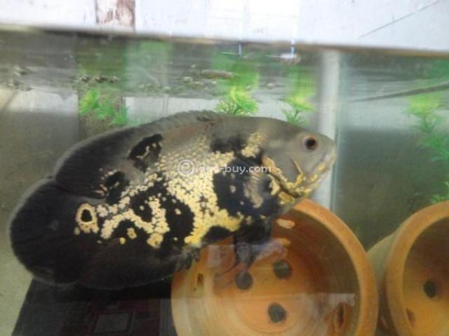 7 inch black tiger oscar fish 4 cheap rate muttathara for Cheap pond fish