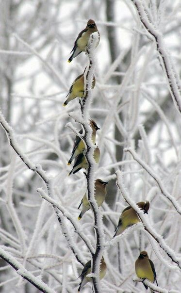 Winter   birds on snow-covered tree branches