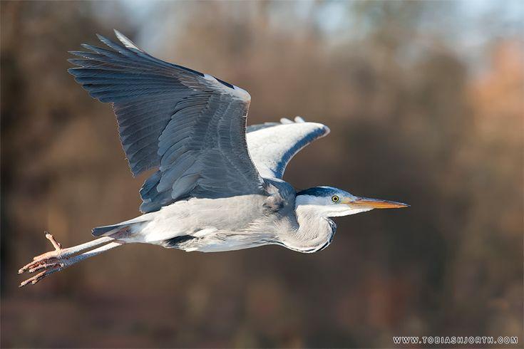 Great Blue Heron 7 by tobias hjorth