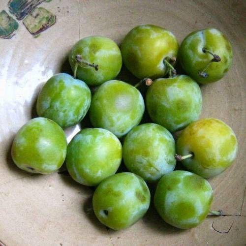 Prunus domestica Reine Claude de Bavay