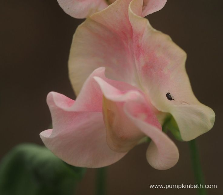Here you can see a tiny pollen beetle, a Meligethes species, crawling over a Lathyrus odoratus 'John Gray' bloom.