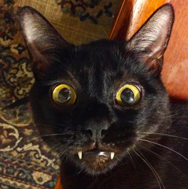 Mamba the vampire cat - catster