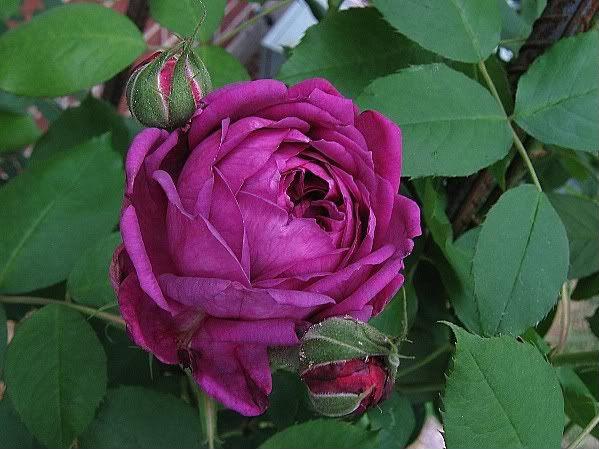 I Want (But Shouldn't) Reine de Violettes