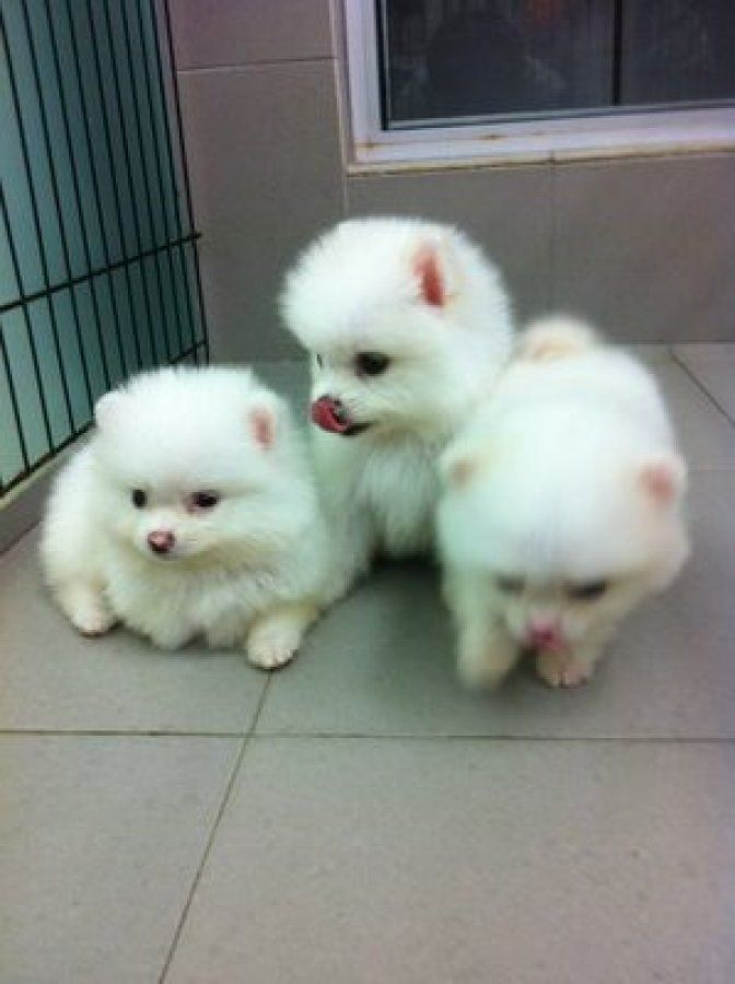 Truly Amazing Toy Pomeranian Puppies For Sale Adoption In Hong Kong Adpost Com Classifieds Pomeranian Puppy For Sale Toy Pomeranian Toy Pomeranian Puppies