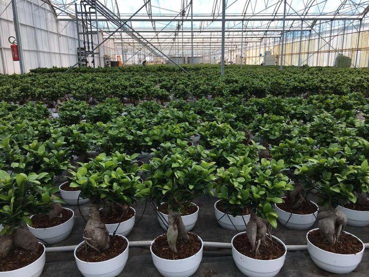 Tutti i Ficus Bonsai necessitano di cure simili: gradiscono l'acqua ma non sopportano terreni costantemente inzuppati. In questo articolo scopriamo quali sono le patologie e come curarle