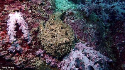 #Stonefish (Synanceia verrucosa) the most venomous fish in the world having venomous sacs on each one of its 13 spines. taken in stonehenge,Tarutao National marine park,Thailand