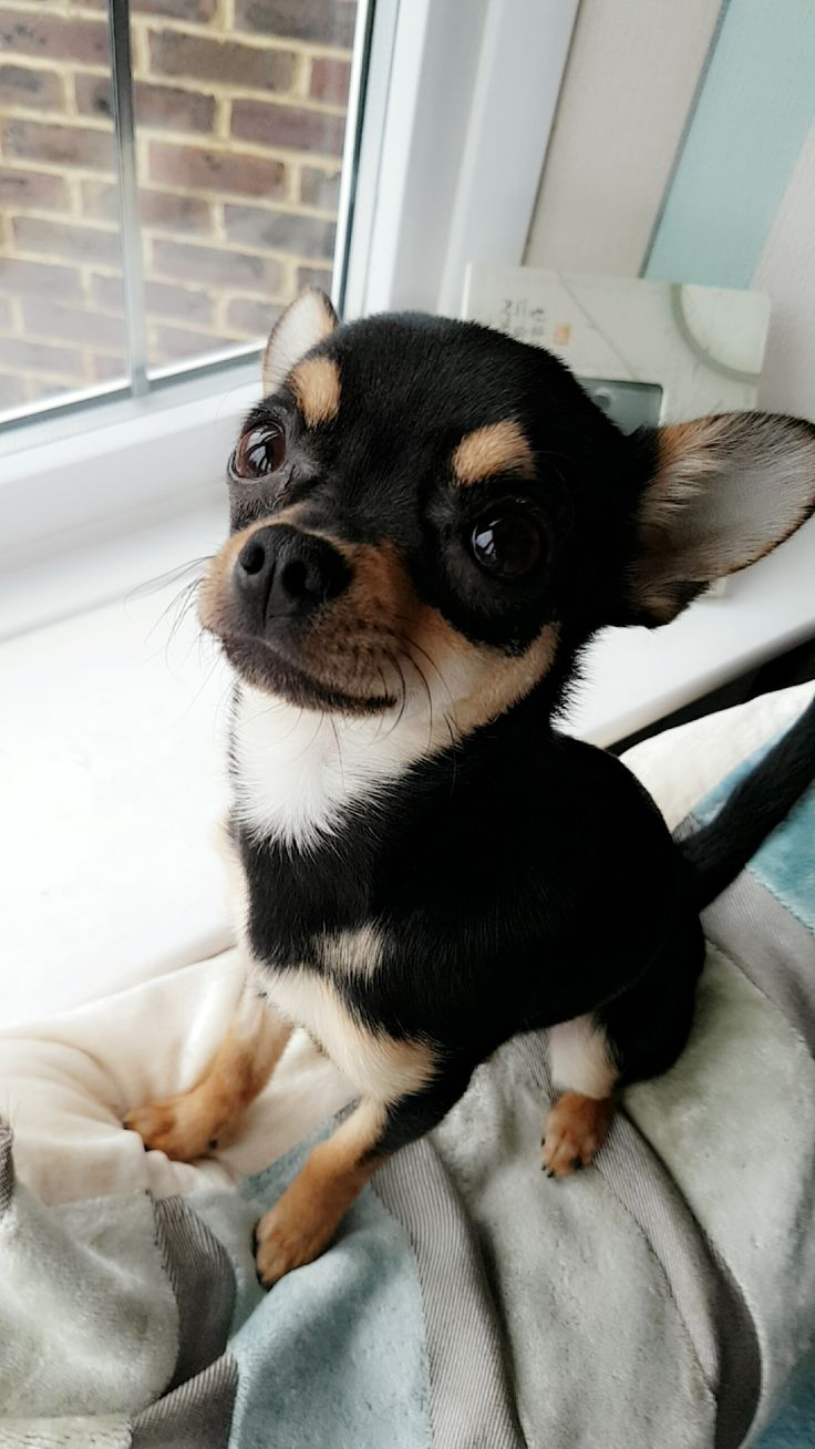 I took a cute picture of my Chihuahua the other day