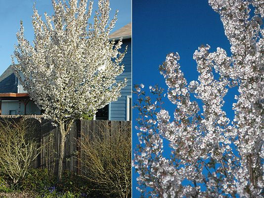 19 Best Images About Trees For Small Spaces On Pinterest Trees White Flowers And Scarlet