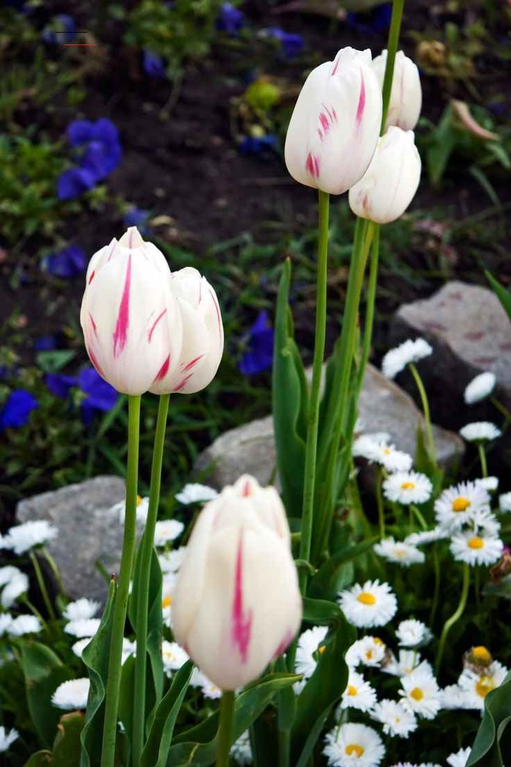 Making Tulips Last Longer No More Drooping House Of Hawthornes Fresh Tulips Tulips Planting Flowers