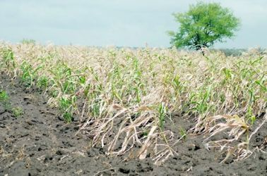 Farmers brace for the worst as rains stop mid season