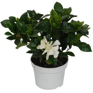 Gardenia jasminoides, Jazmín del Cabo