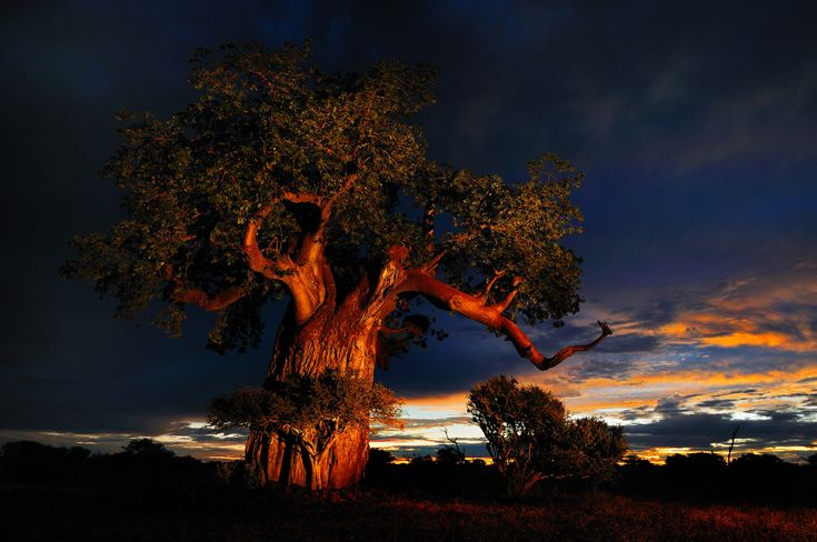 A Baobab tree before the storm, in beautiful #Botswana.     Click on the pic to see our amazing Botswana travel deals.
