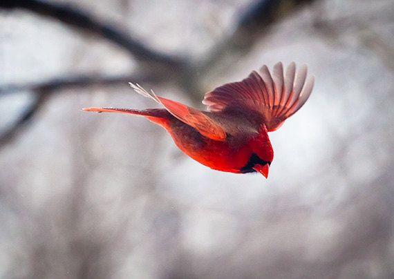 Fliegender Vogel, Kardinal, Vogel-Fotografie, Weihnachtskarte, Winter, rot, Naturfotografie, Wings, Geschenke für ihn, Weihnachtsgeschenke, Home Dekor