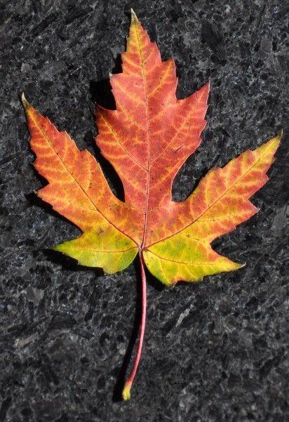 Autumn - Amazing Maple Leaf - livedan330.com