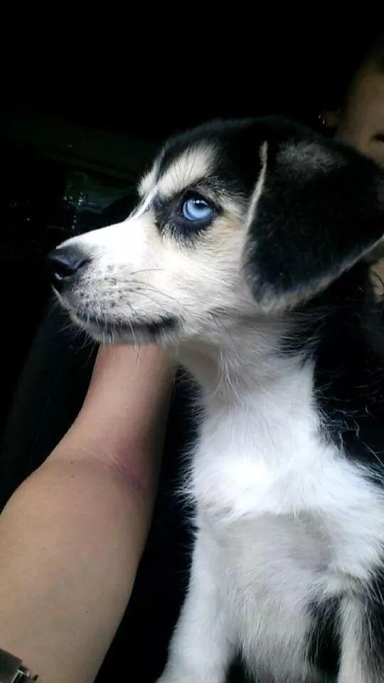 Busky, a majestic Beagle Husky mix