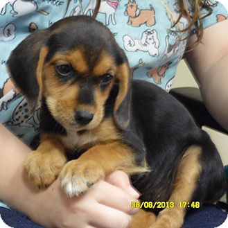 Beagle Lab Mix | Beagle/Labrador Retriever Mix Puppy for Sale in Sussex, New Jersey ...