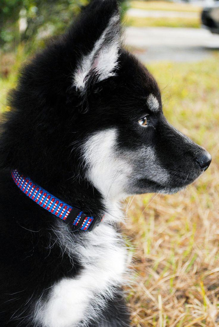 My Husky Wolf hybrid, Logan at 4 months.
