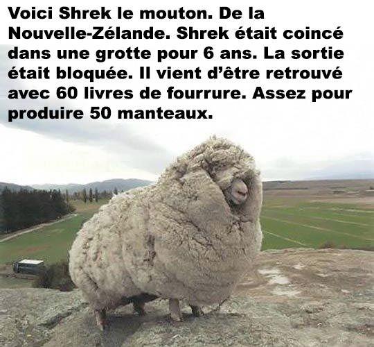 Shrek le mouton – ConneriesQc