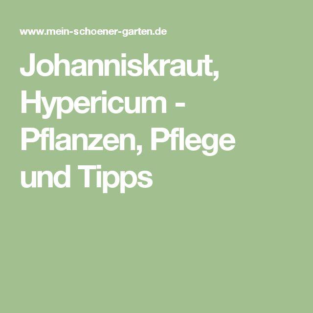 Trend Johanniskraut Hypericum Pflanzen Pflege und Tipps
