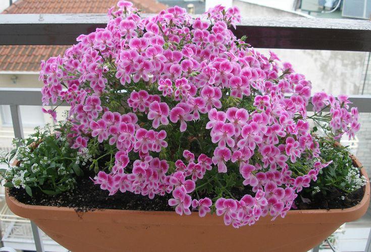Όλα τα ανοιξιάτικα λουλούδια μαζεμένα σε μία γωνίτσα για να διαλέξεις! - Πελαργόνιο  #kipologio
