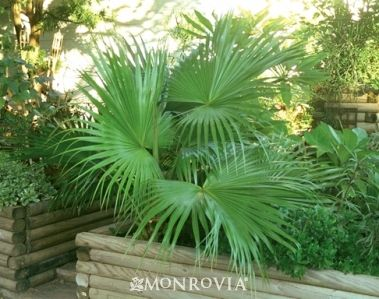 dwarf palmetto from Monrovia. For other SC natives, see: http://plantnative.org/rpl-ncsc.htm