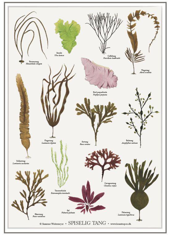 Art Print: A2 Poster mit Algen aus dem Meer. Illustration: Susanne Weitemeyer Format: 59,4 cm x 42 cm (A2)