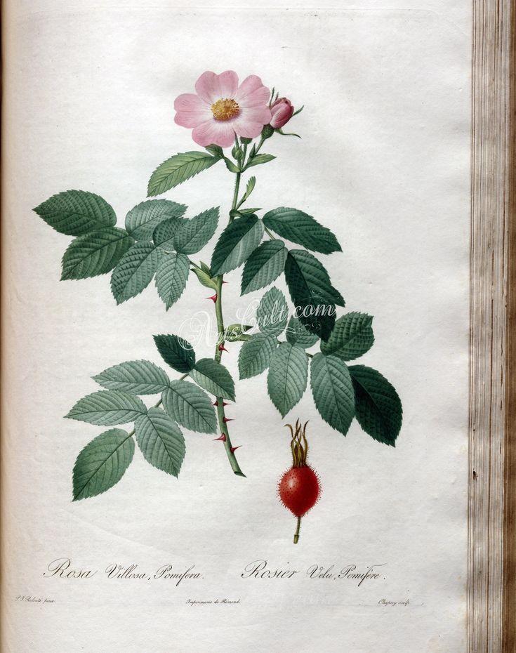 rosa villosa pomifera   ...