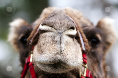 camel noses look like rabbit noses.
