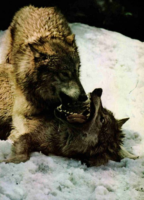 wolves. before coffee