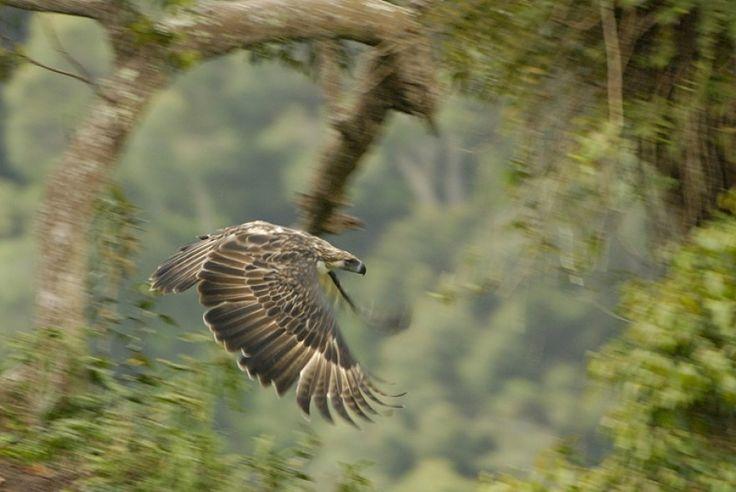 Mindanao, Philippineadler