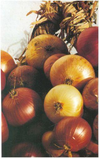 cipolle di Cannara (PG)