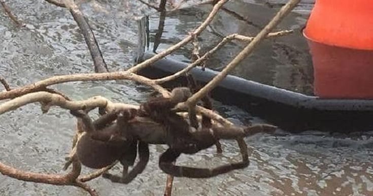 Rescuers carried the huge arachnid - believed to be an Eastern tarantula, also known as the Barking, Bird-eating or Whistling spider - down from an avocado tree in Queensland, Australia