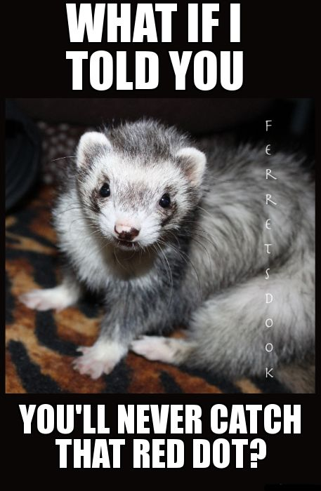 pin ferret meme on - photo #8
