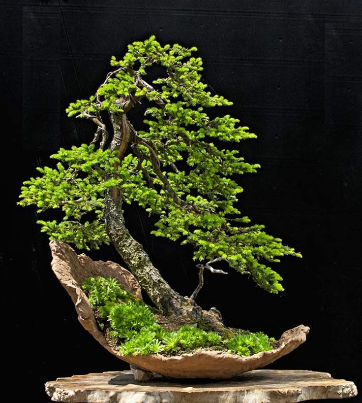 ezo spruce bonsai tree in half moon crescent pot bonsai. Black Bedroom Furniture Sets. Home Design Ideas