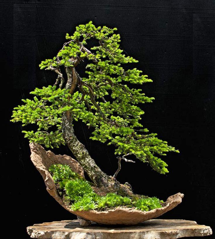Ezo spruce bonsai tree in half moon crescent pot