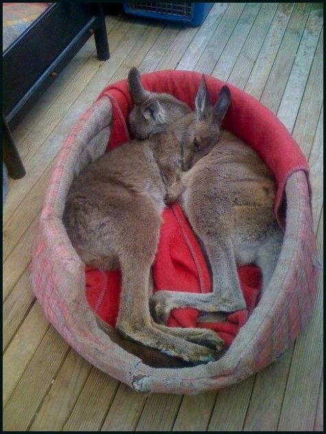 One of the most cutest thing you'll see today! - Cuddling baby kangaroos.