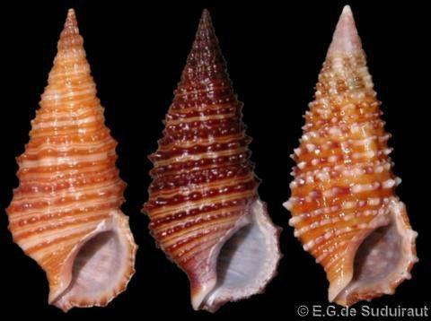 Cerithium zonatum purpurascens (f)  Sowerby, G.B. II, 1855 Shell size 20 - 30 mm E Africa - Philippines