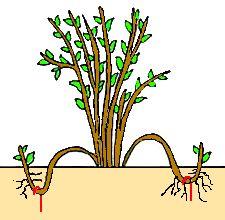 Reproducción de plantas: los esquejes y acodos  | #Huerto urbano - Huerto ecológico ecoagricultor.com