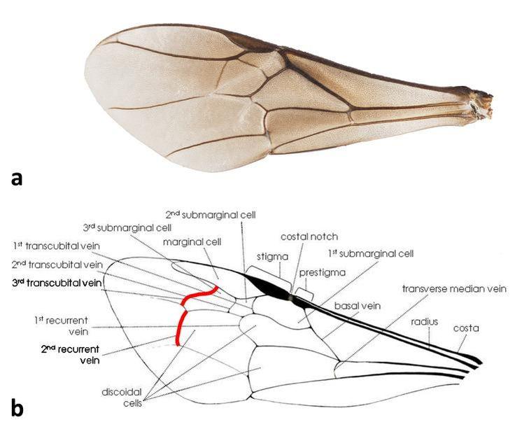Bee Wing Anatomy Diagram Electrical Work Wiring Diagram