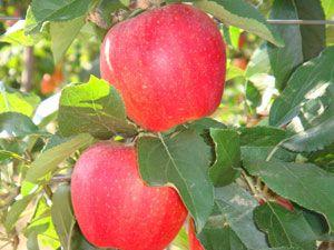 Μήλα Δομοκού