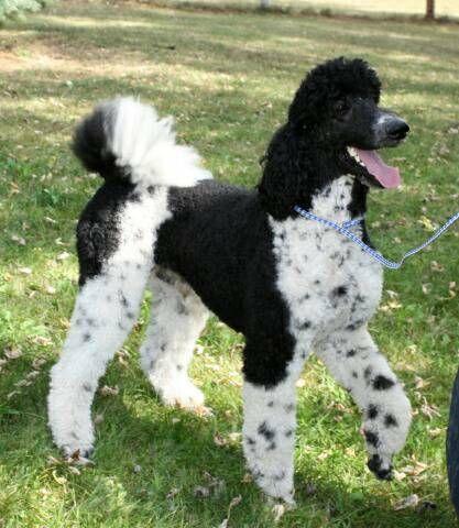 Tazer Black White Irish Tuxedo Parti Poodle
