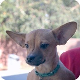 Walnut Creek, CA - French Bulldog/Chihuahua Mix. Meet Monte Carlo a Dog for Adoption.