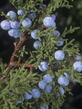 Junipers have wreath-worthy foliage and excellent, sometimes odd berries.