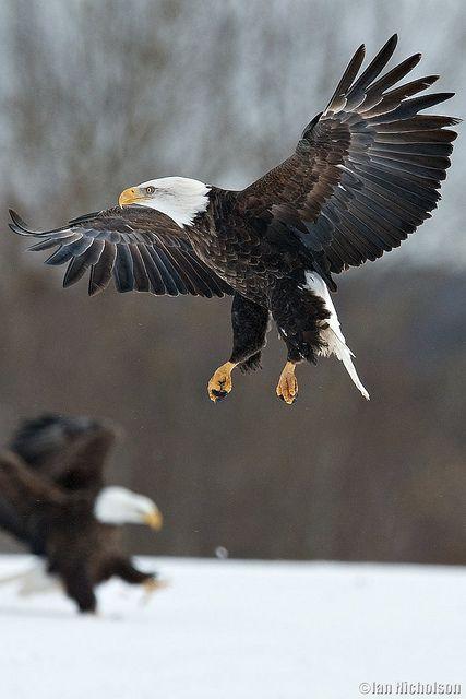 ♂ Wild life photography birds A bald Eagles On Guard