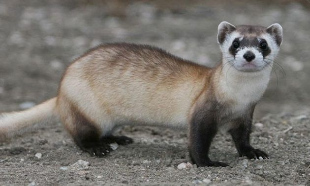 10 Remarkable Animals That Start With The Letter F Black Footed Ferret Ferret Animals