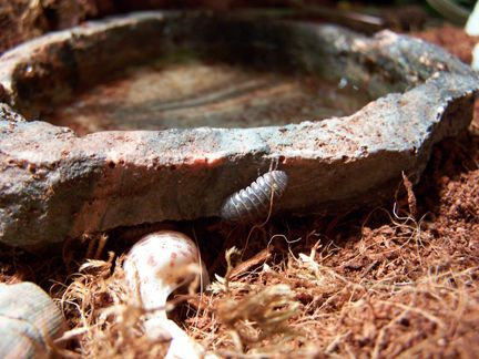 Adding Rollie Pollie Bugs (Pill or Sow Bugs) to your Hermit Crab Tank