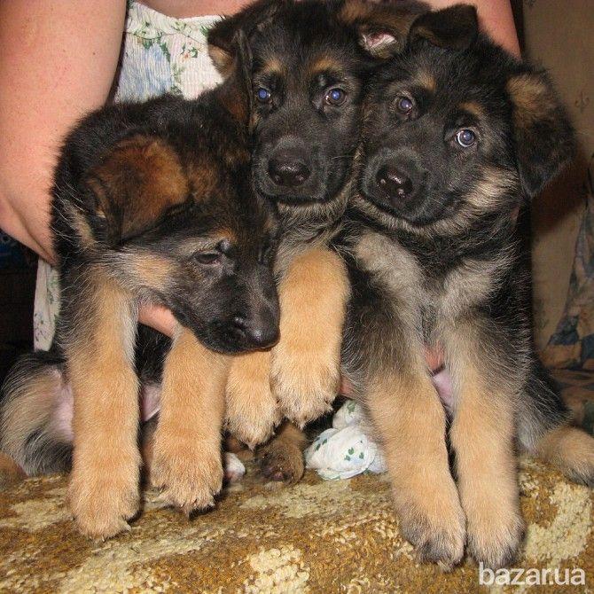 щенки немецкой овчарки - Собаки Киев на Bazar.ua